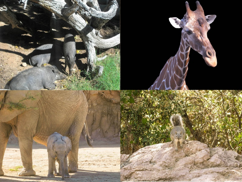 Animal Collage. Javalina Elephants Giraffe And Squirrel