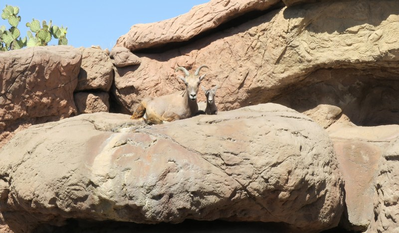 Bighorn Female Sheep