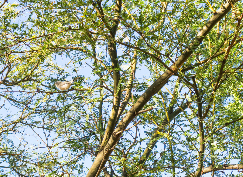 Blue Gray Gnatcatcher In A Tree