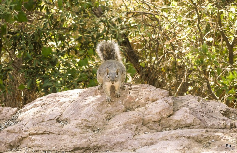 Gray Squirrel Standing On Big Rock