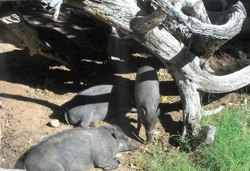 Peccary, Javelina Or Skunk Pig