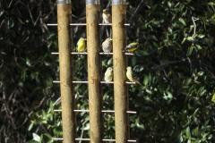 Gold Finches On Railing