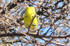 Yellow Bird With Black Cap Or Mask