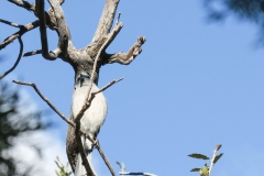 Mexican Jay In Tree