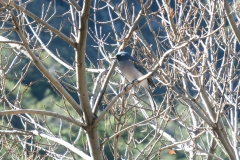 Mexican Jay In Tree_1
