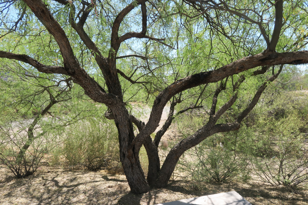 In The Shade Of An Old Mesquite Tree