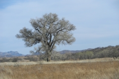 Arivaca Cottonwood Tree