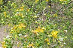 Creosote Bush In Early Spring
