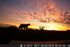 Beautiful sunrise with big cat searching for breakfast.