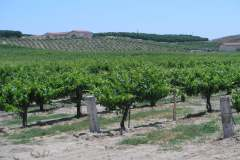 California Wine Vineyard