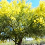 Palo Verde Tree Blooming