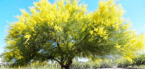 Palo Verde Tree In Bloom