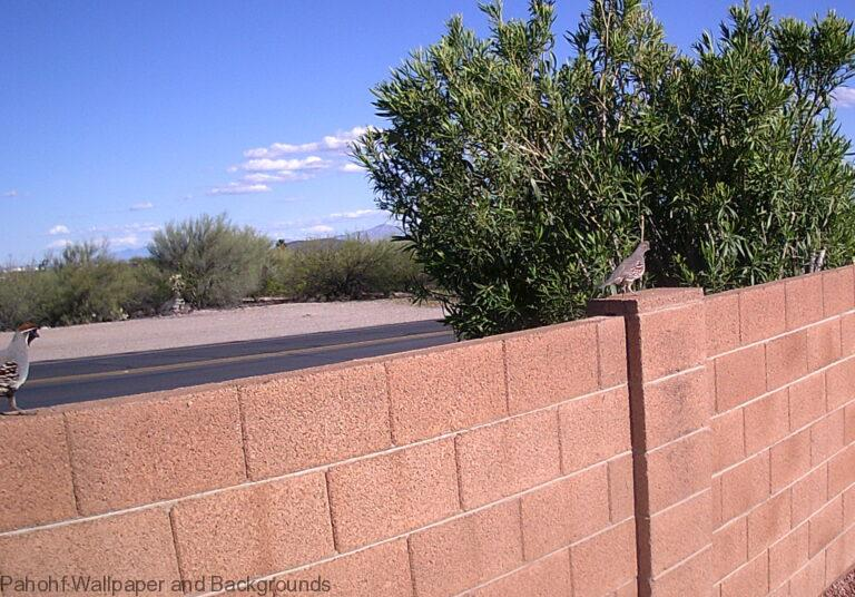 Quails Like To Walk On The Wall